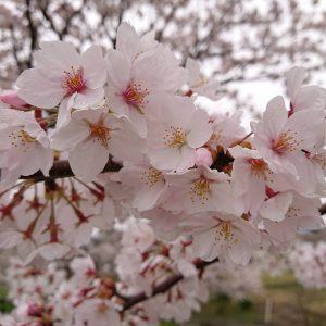 🌸桜満開🌸